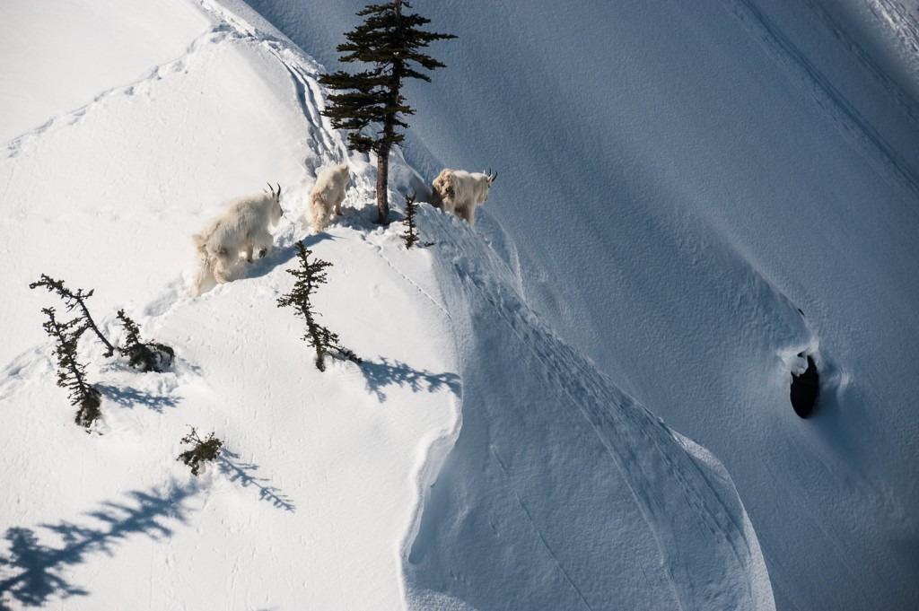 Unlike humans, these guys understand risk and have way more knowledge of the terrain than you do.  Photo - Dave Silver